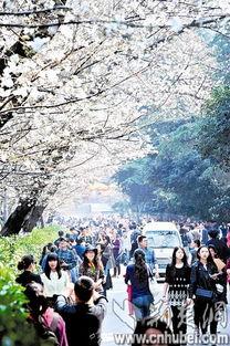 东湖樱花节开幕 武大3月13日起售门票票价20元