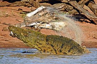 碎帝-凶残 南非 力量帝 鳄鱼将斑马撕成碎片