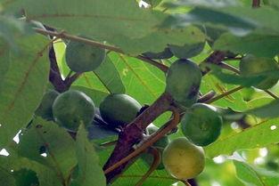 甜甜的,里面是透明的黏糊糊的液... 粘液里还有咖啡色细小的种子,嚼...