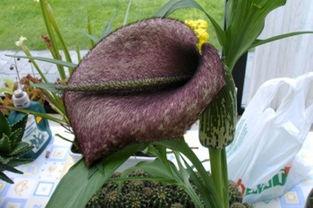 十五大最奇异珍稀植物 尸花释放腐烂尸体臭味 9