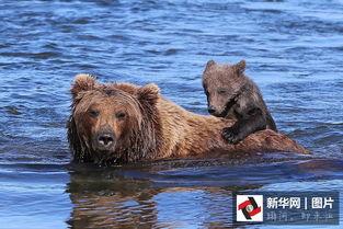 ...棕熊妈妈背宝宝过河 画面温馨感人