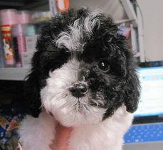 ...玩具体花贵黑白花泰迪母纯种泰迪幼犬