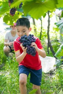 江西湾里:葡萄熟了农民笑了
